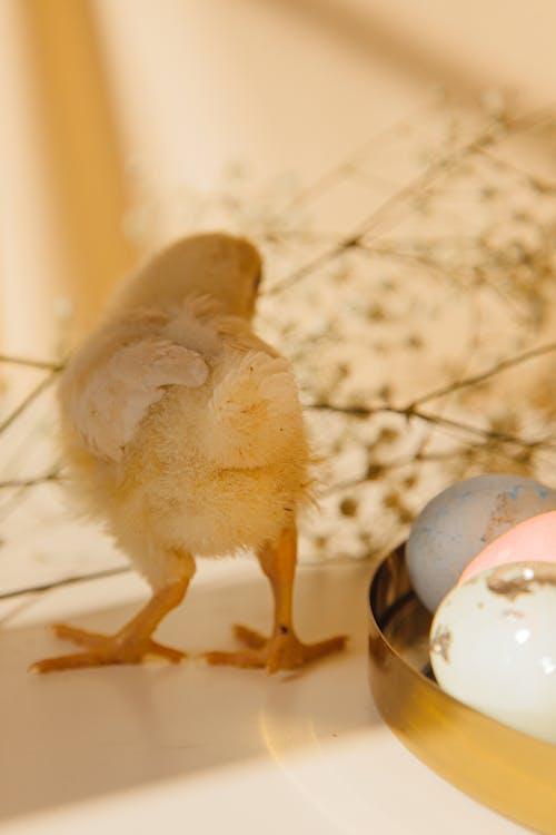 White Chick Near Colored Eggs