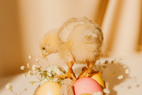 Close-up Photo Of Chick On Colored Eggs