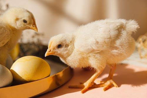 Two Chicks Beside Eggs