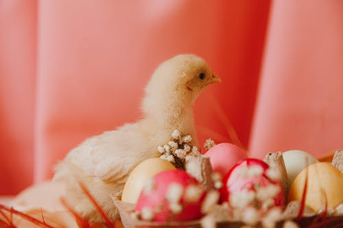 White Chick Beside A Basket Of Colored Eggs