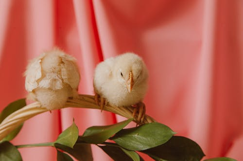 Two Chicks Sitting On A Basket Handle