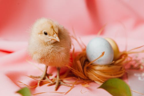 A Chick And Eggs On A Nest