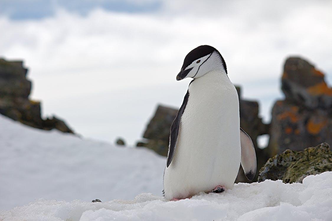 雪野生动物摄影上的企鹅