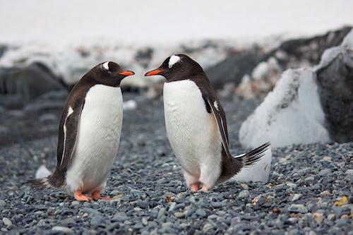 企鵝, 側面圖, 冬季, 冰 的 免費圖庫相片