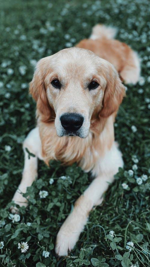 Golden Retriever Puppy Sitting on Green Grass