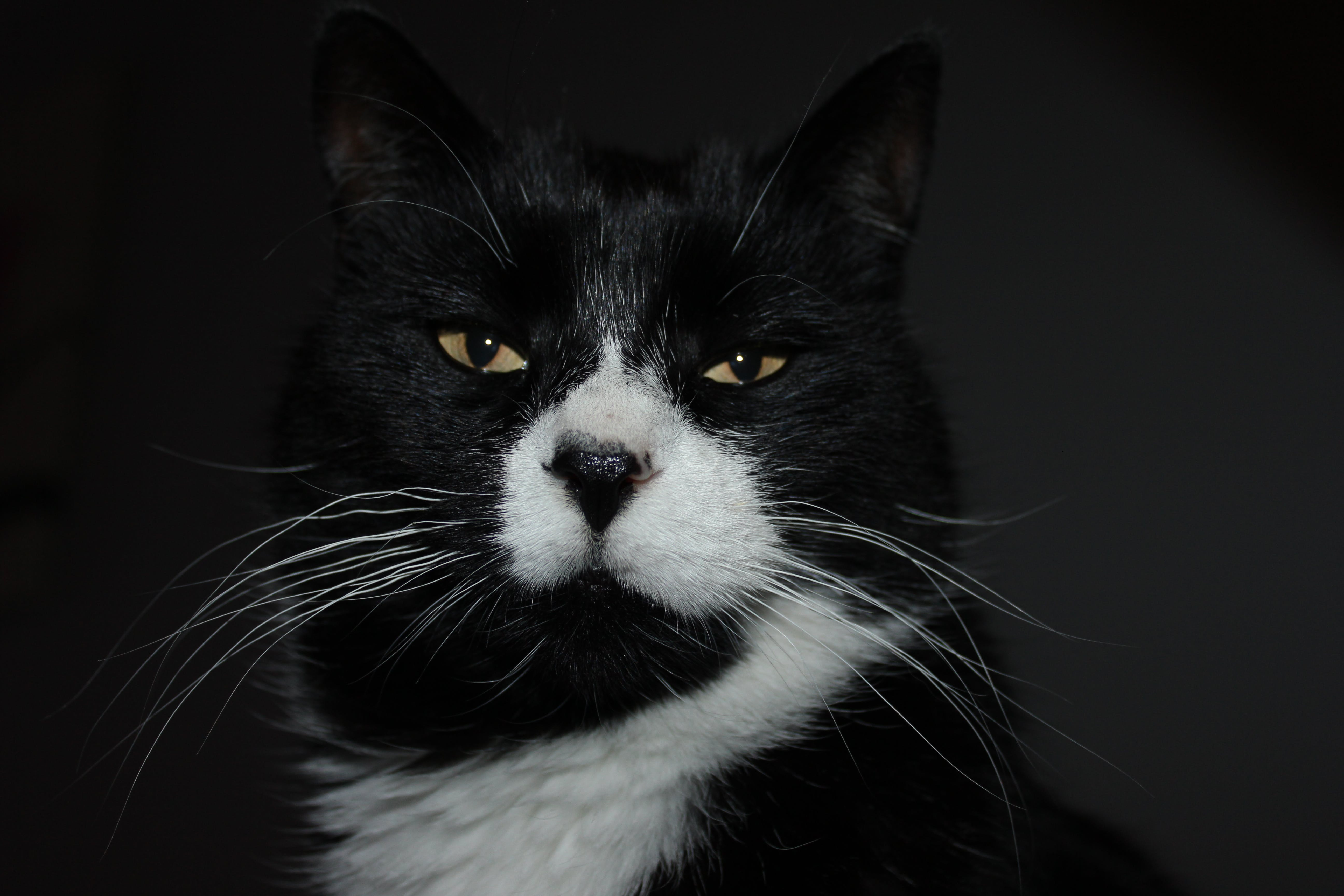 Free stock photo of black cat, cat
