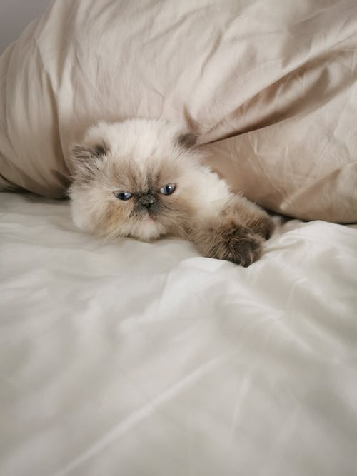 Adorable cat lying under blanket on bed