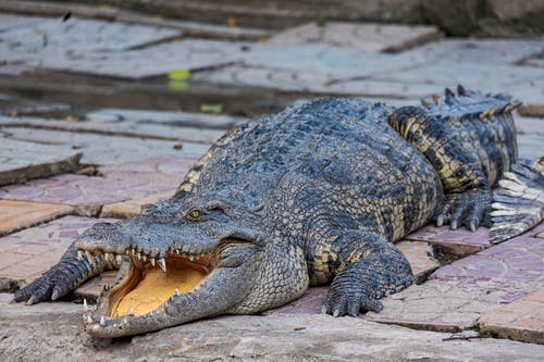 Long dangerous crocodile with open mouth and rugged scales on body crawling on stony surface near calm pond in zoological area