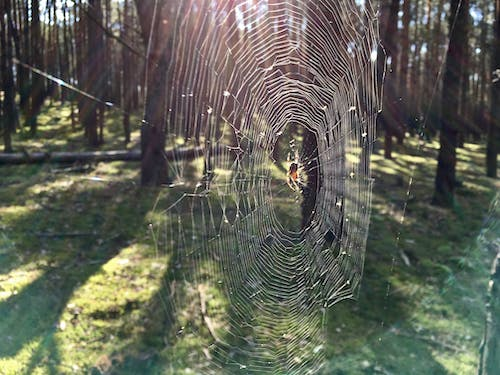 Free stock photo of web spider forest