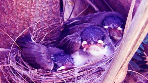 Foto stok gratis bayi burung di dalam sarang