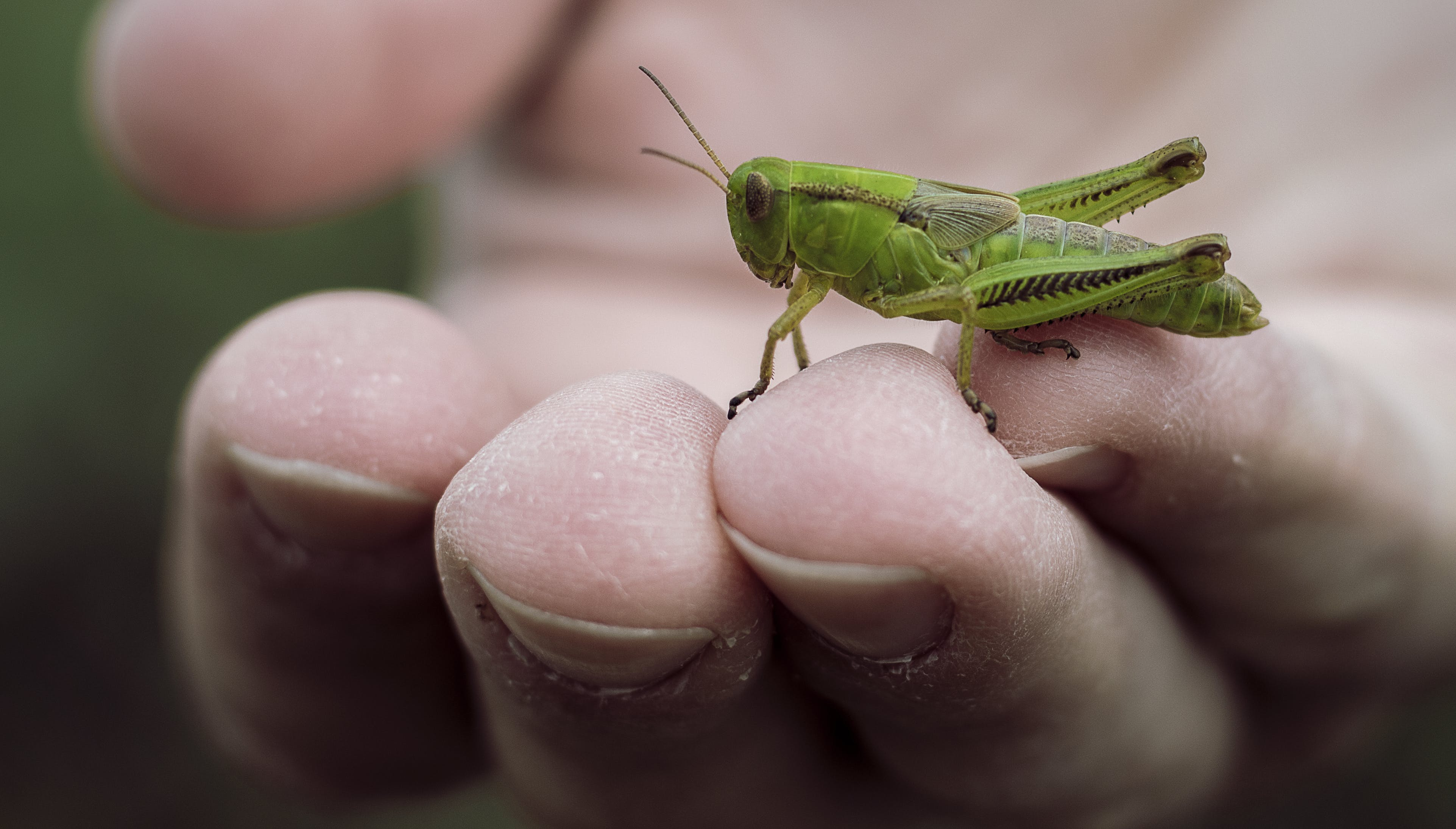 Free stock photo of grasshopper, green, hand, insect