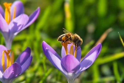 Free stock photo of bee, crocus