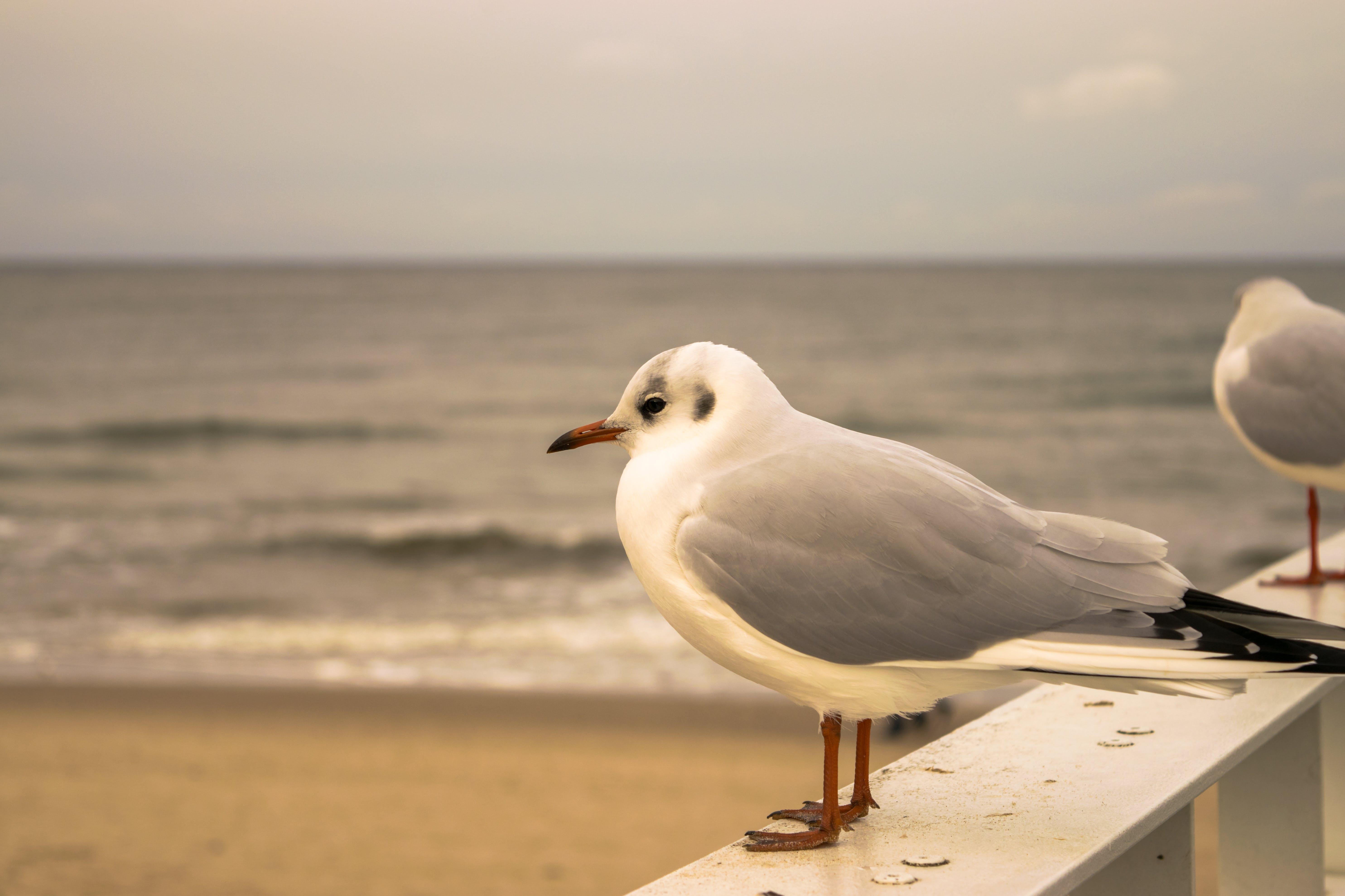 Free stock photo of Baltic, Baltic Sea, beach, gull