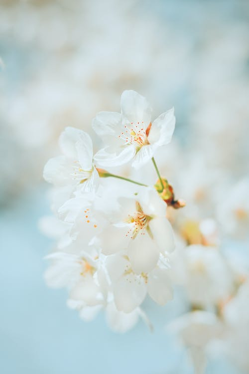 Blossoming cherry tree with delicate white flowers growing in park against light blurred background in daytime