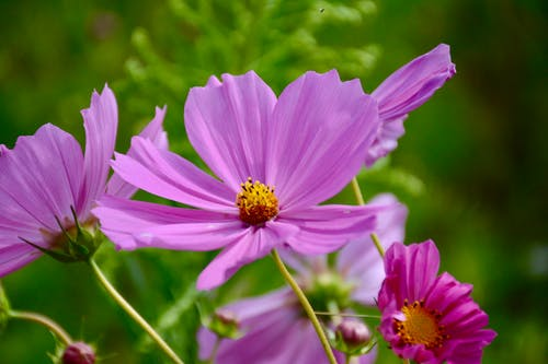 Purple Cosmos Flower in Closeup Photo