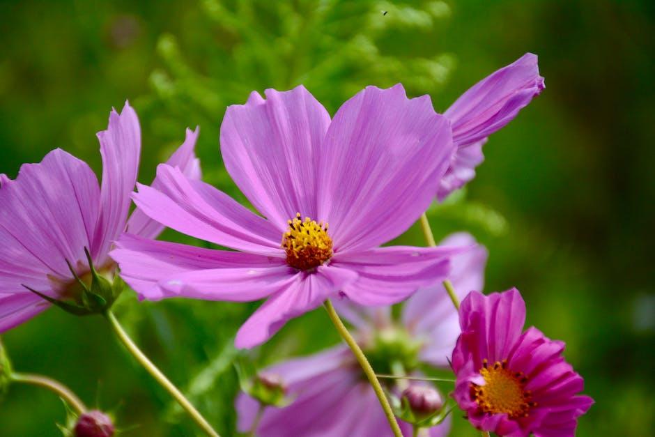 Purple Cosmos Flower In Closeup Photo 183 Free Stock Photo