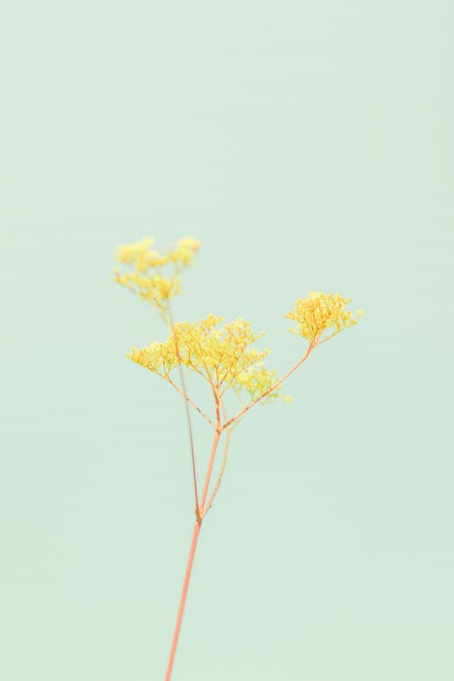 Plant with thin stem and yellow inflorescence on blue background