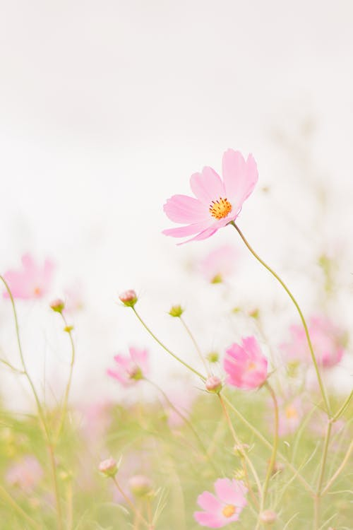 Fresh blooming pink garden cosmos flowers growing in green field in nature in daytime