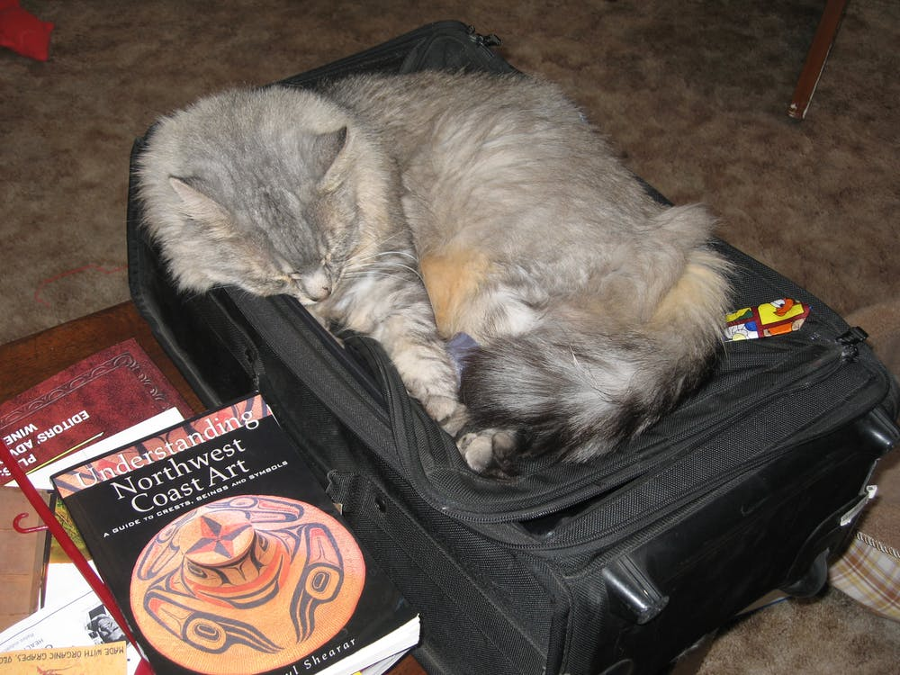 Free stock photo of cat, cat in luggage, cat sleeping