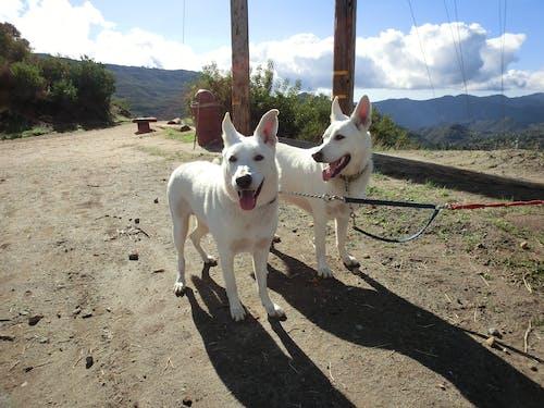 Free stock photo of dogs, german shepherds, malibu