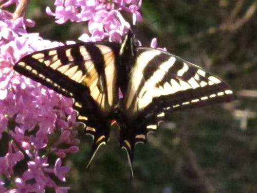 Free stock photo of butterly