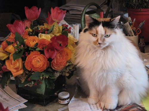 Free stock photo of calico cat, cat with flowers, malibu
