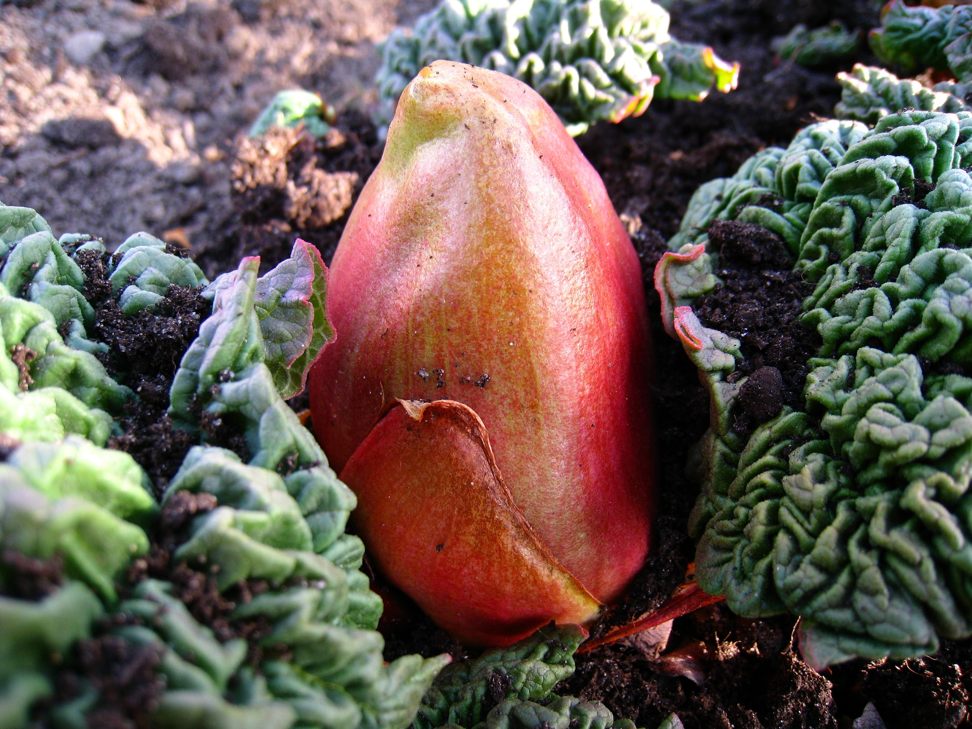 Red and Yellow Flower Bud