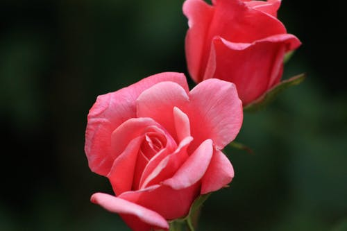 คลังภาพถ่ายฟรี ของ ดอกกุหลาบ, ดอกไม้, ธรรมชาติ, พฤกษา