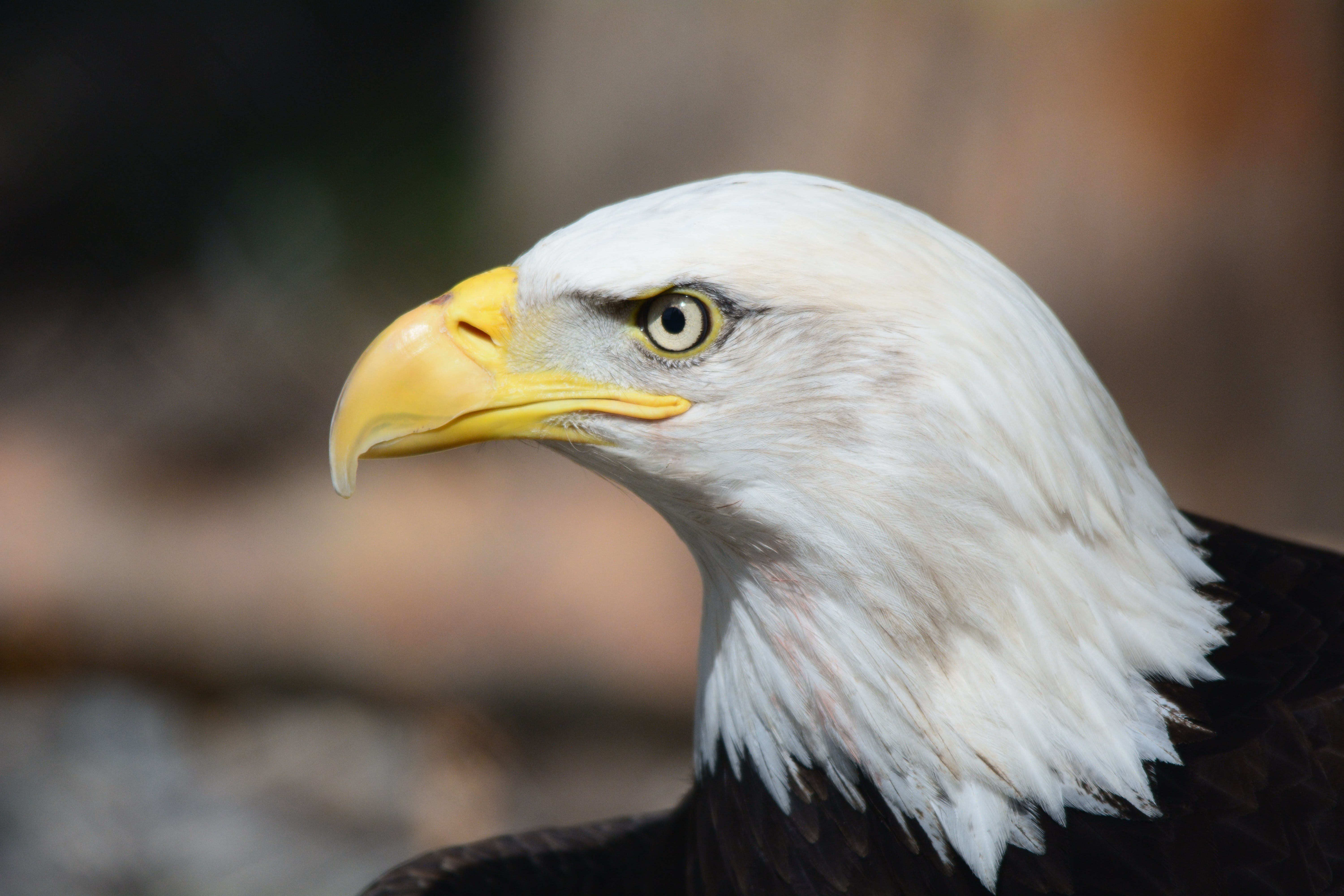 Bald Eagle in Macro Photography