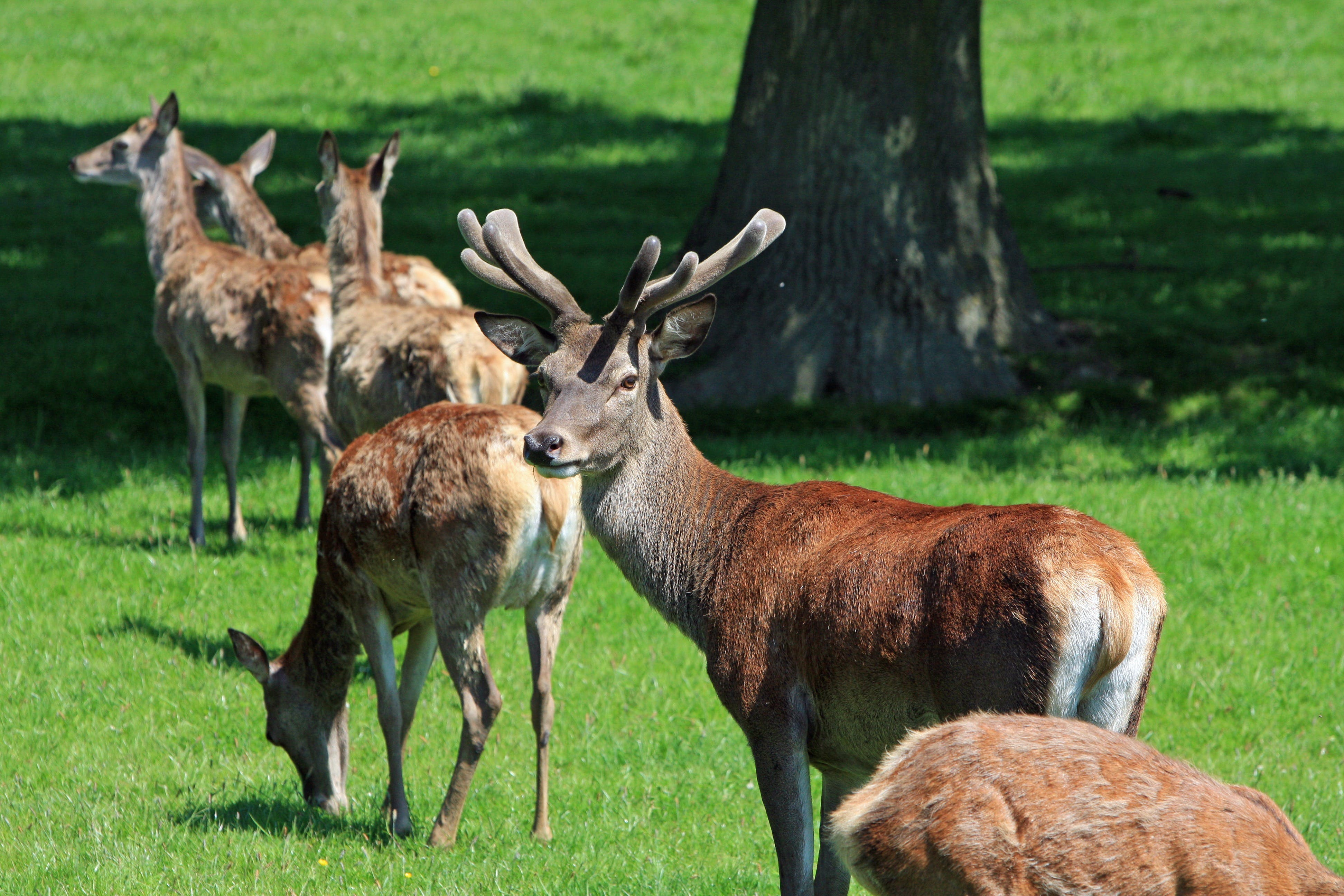 Group of Brown Deer on Green Grass Near Tree during Daytime