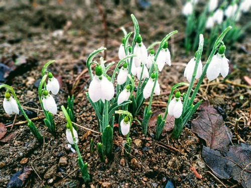 Blooming snowdrops growing on dry terrain in garden