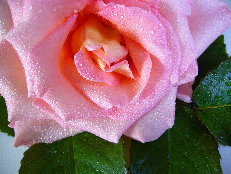 Free stock photo of flower, pink, macro, close-up