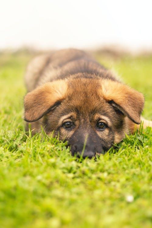 คลังภาพถ่ายฟรี ของ น่ารัก, ลูกสุนัข, สัตว์