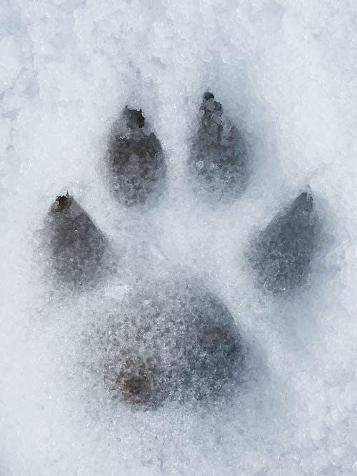 Free stock photo of dog, ice, massive paw