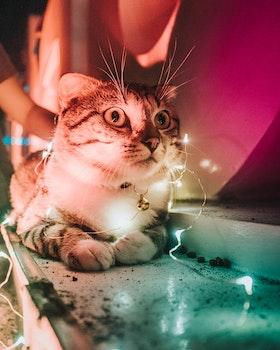 Closeup Photo Of String Light On Tabby Cat