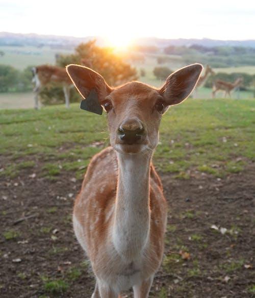 Free stock photo of animal, deer, deer farm