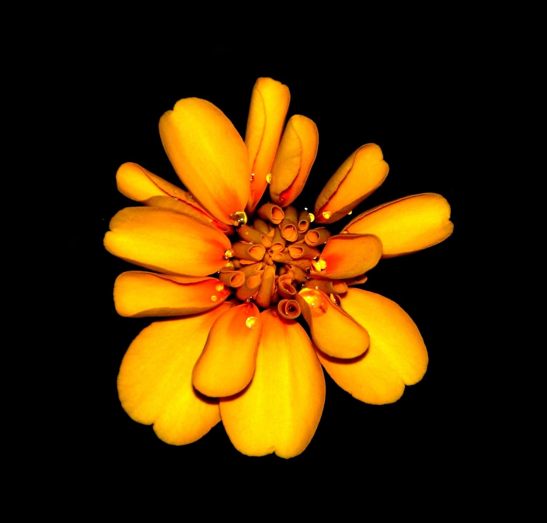 Kostnadsfri bild av blomma, flora, gul orange, kronblad
