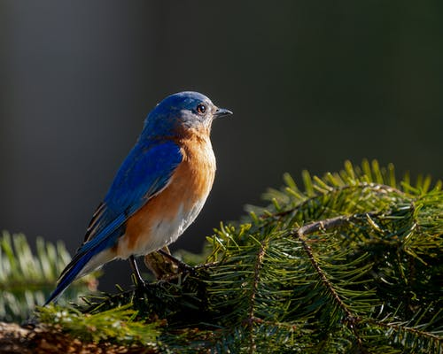 Vivid bird with blue plumage and red chest sitting on green sprigs in forest on blurred background on sunny weather