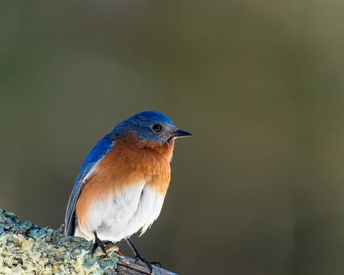 Colorful mountain bluebird on branch