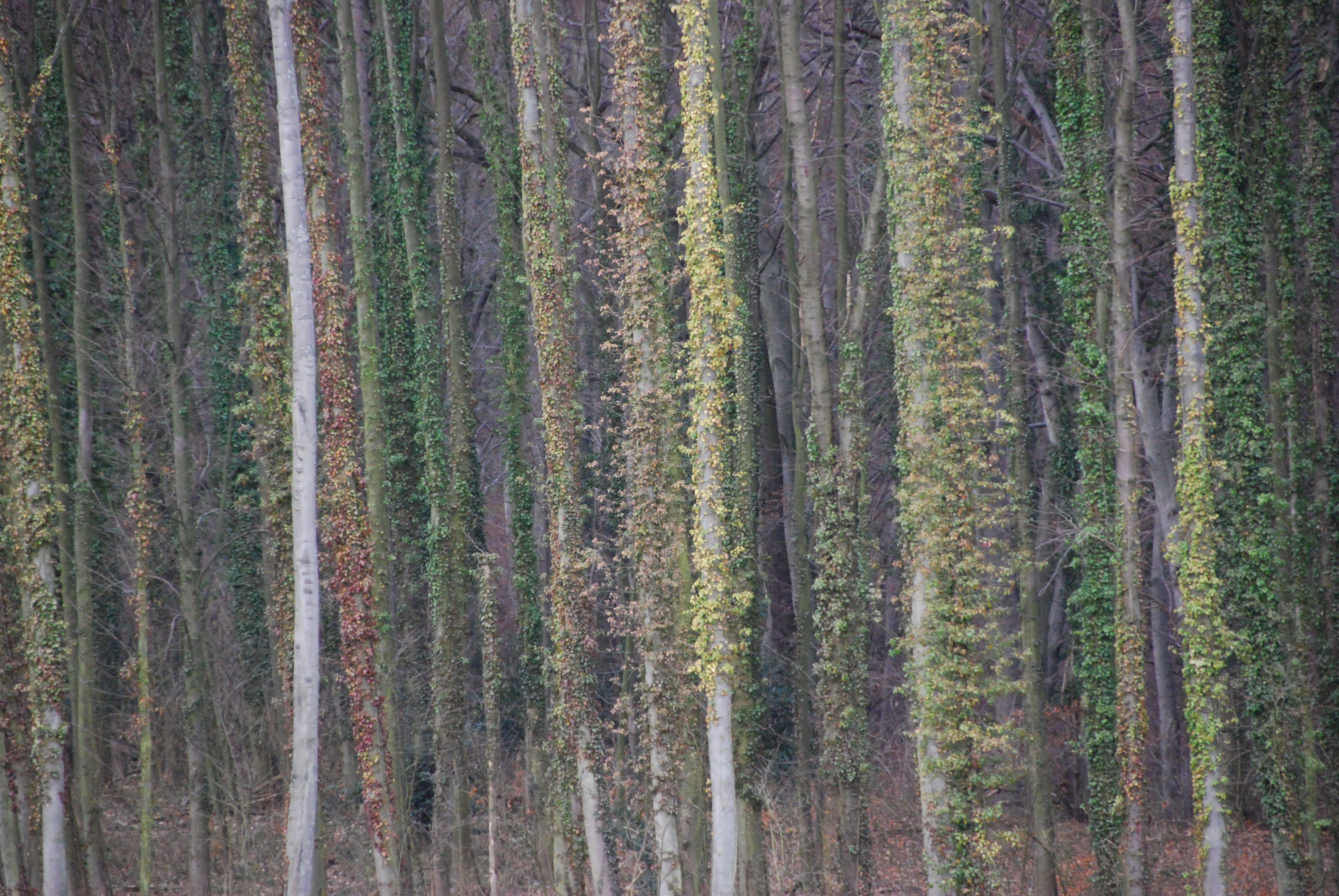 Gratis lagerfoto af efeu, natur, skov