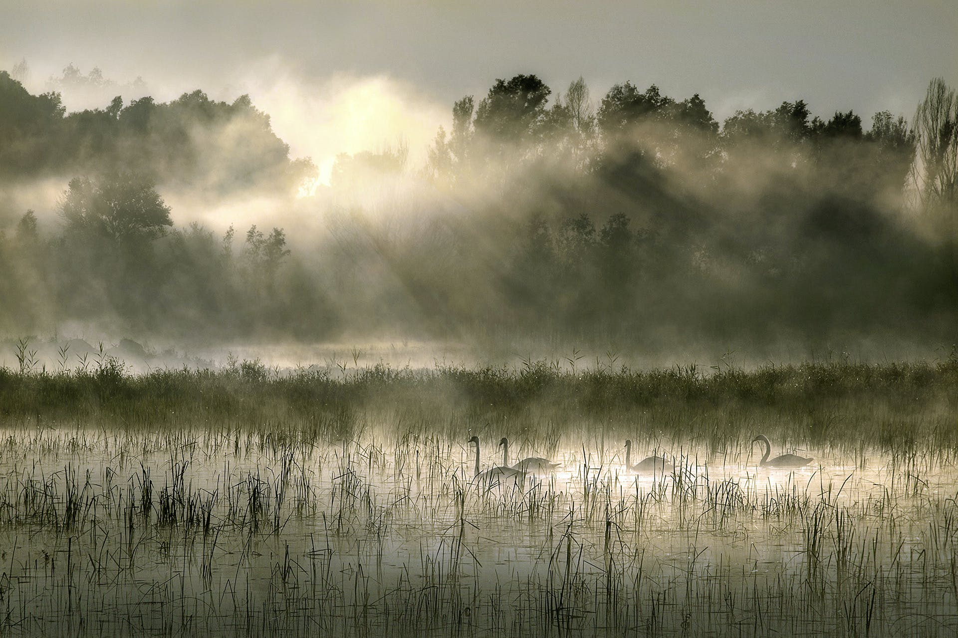 Free stock photo of swans, sunrays, early morning