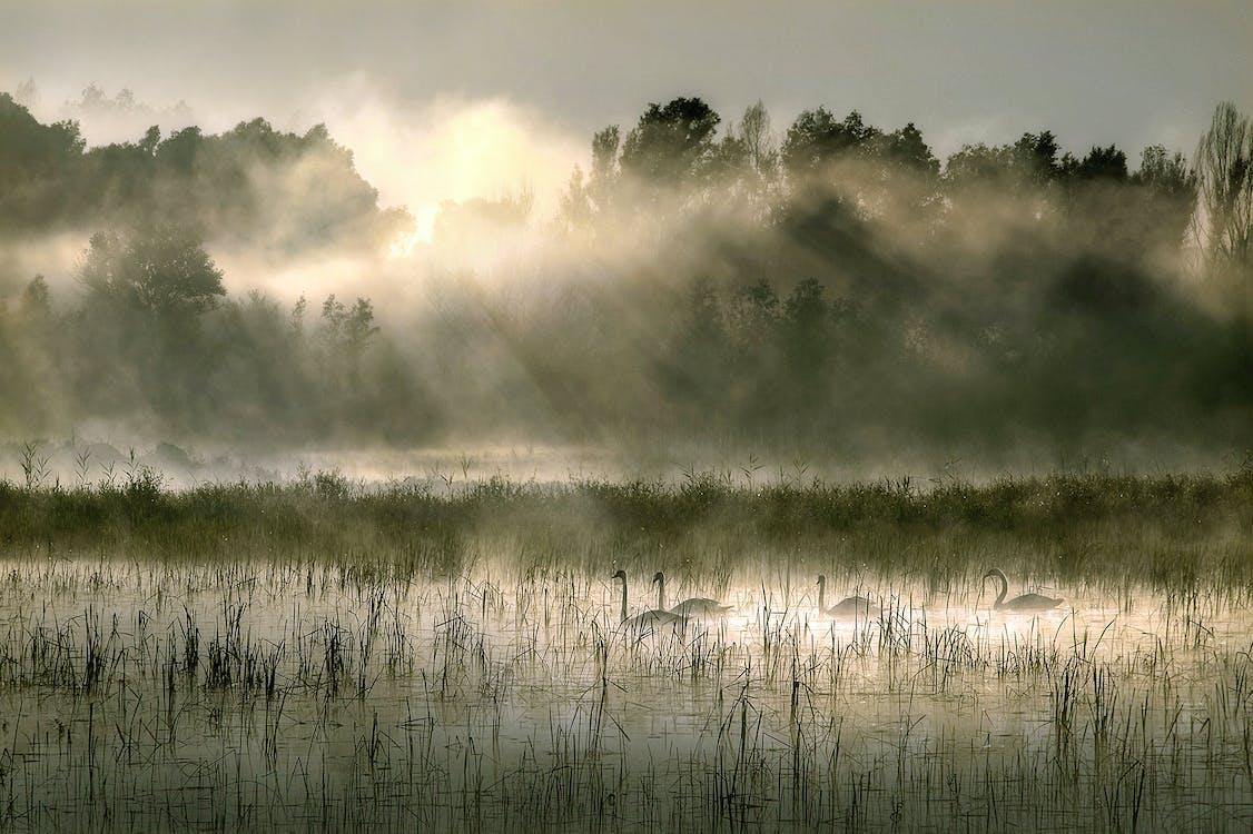 Güneş ışınları, kuğular, sabahın erken saatleri içeren Ücretsiz stok fotoğraf