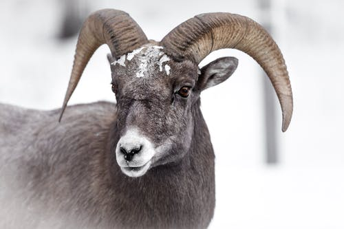 Brown Ram in Close Up Photography