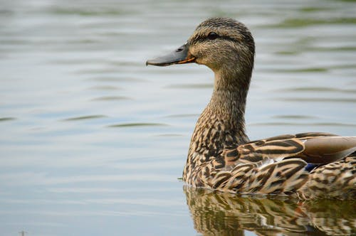 Female Mallard Duck Swimming on Body of Water