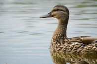animal, pond, duck