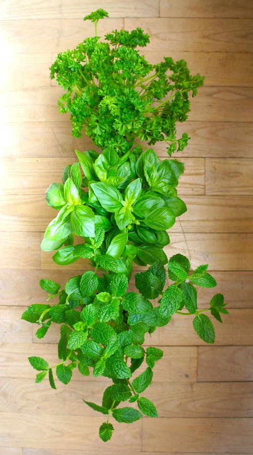 Free stock photo of basil, mint, parsley, peppermint