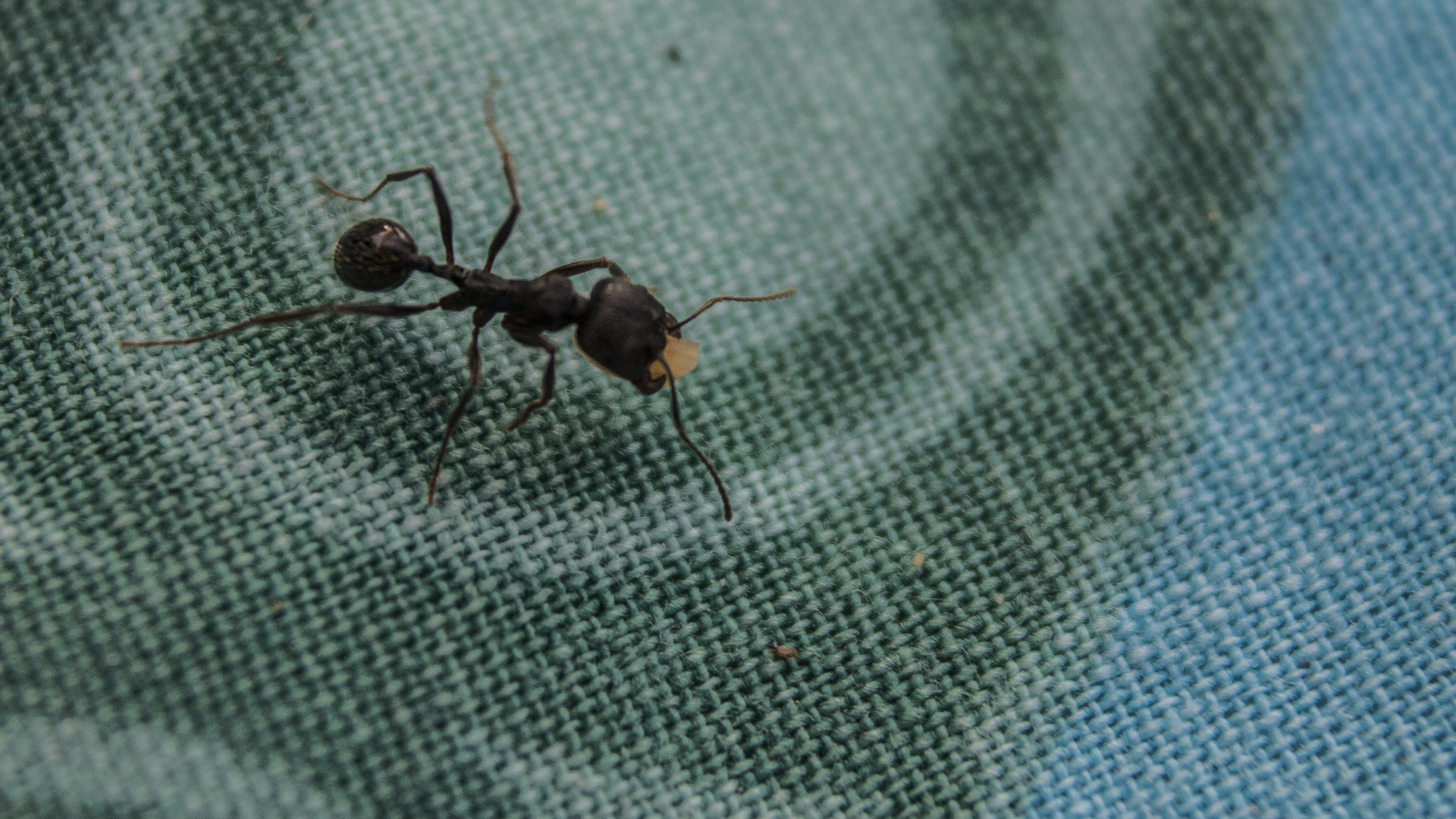 Free stock photo of animal, ant, black ant, bug