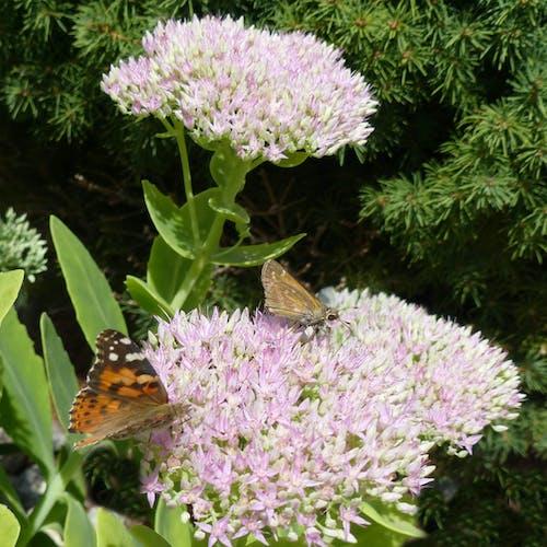 バタフライ, ピンクの花, 蝶々の無料の写真素材