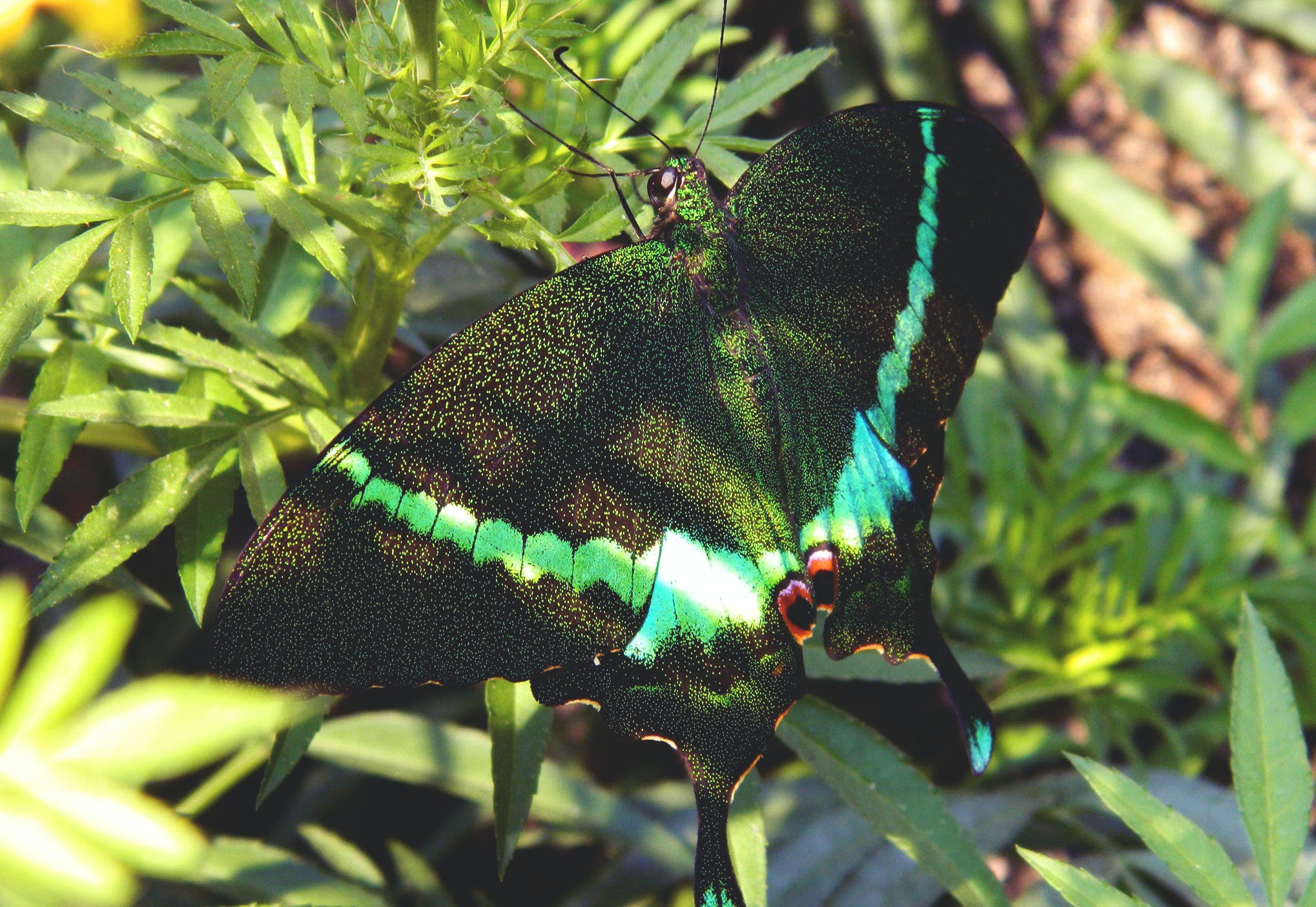 Green and Black Swallowtail Butterfly on Green Leaf Plant