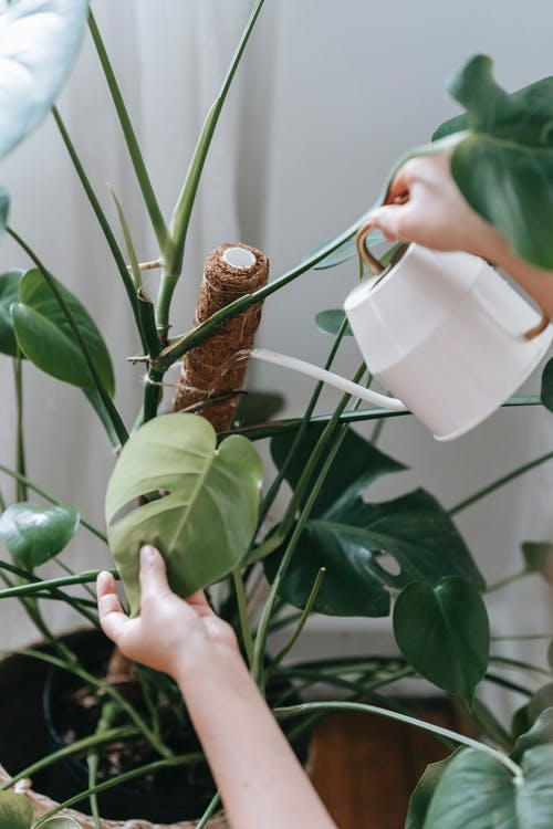 Unrecognizable person watering potted plant
